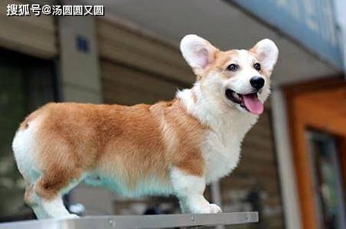「狗狗」狗狗断尾要怎么止血,【个人养狗经验分享】狗狗断尾止血方法