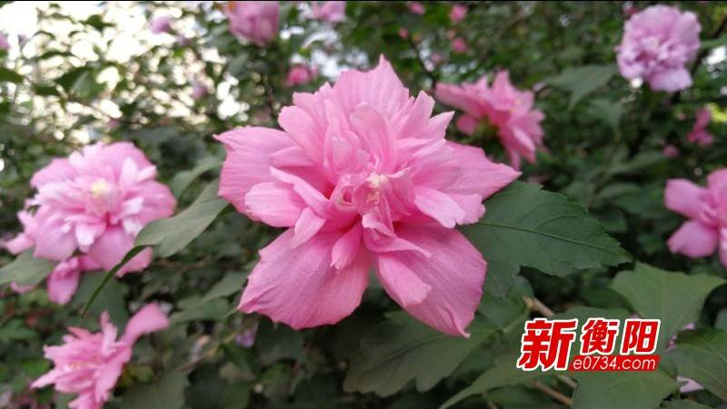 """衡阳街头的木槿花开正盛喜欢赏花的市民赶紧去""""打卡"""""""