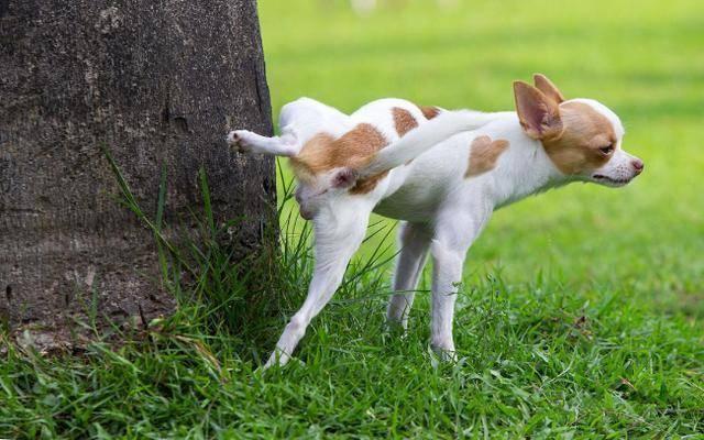 狗狗拉粑粑的几种姿势,代表着差别的意思,你家是哪种?