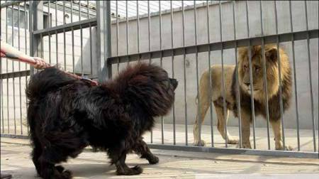 原创 东北虎会捕食狗,但若是换成是藏獒,老虎还能捕食乐成吗?