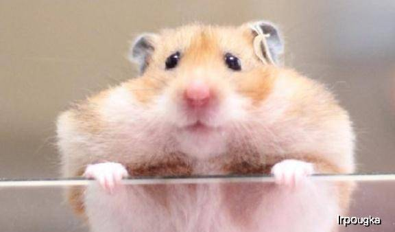 原创 仓鼠的髯毛,竟然有这么大用处,你领会吗?
