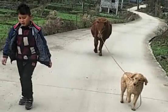 金毛在城市养尊处优,没想来到农村还会放牛,让人们大开眼界了