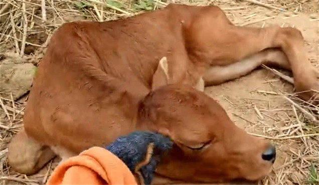 原创 小牛幼时常和狗狗为伍,长大了不只不愿干活,还学狗狗撒娇卖萌