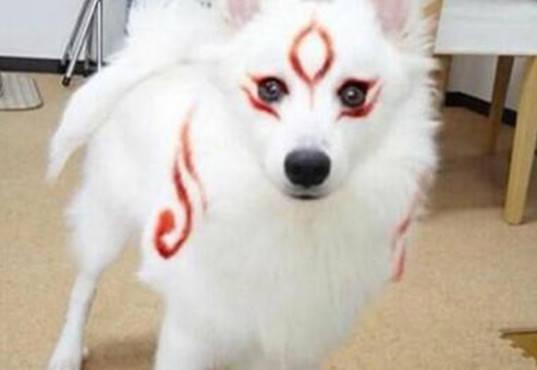 原创 主人给萨摩耶化妆,妆后变身白狐美炸了,网友直呼太二次元了吧