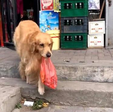 原创 主人醉了不能给狗喂食,丢给金毛一个钱包,金毛的做法令人欣慰