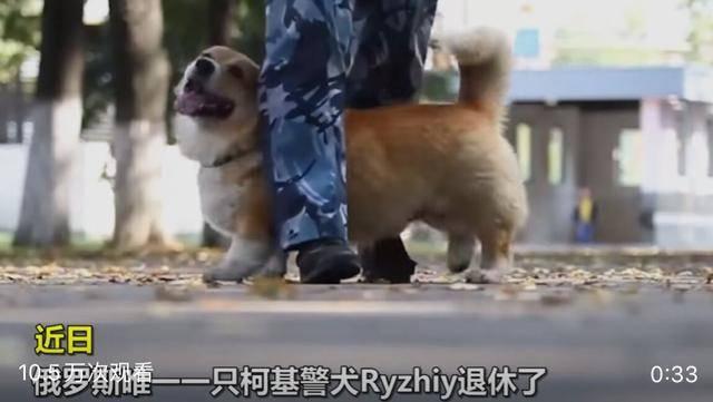 「柯基」这样一只可爱又优秀的狗子,你喜欢吗,俄罗斯唯一的柯基警犬退休