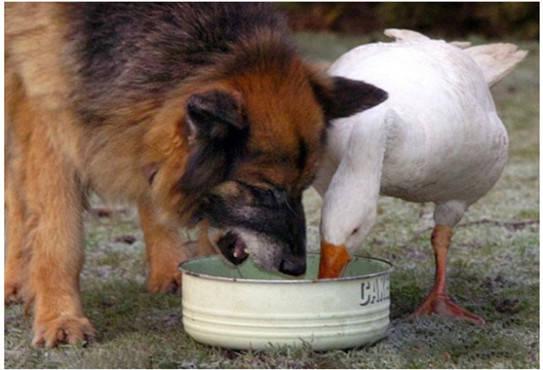原创 狗狗和大鹅情绪甚好,还会分享相互的食物,画面温馨让主人欣慰