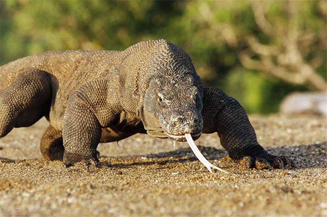 活了4000万年的科莫多龙,能轻松捕食大水牛,20分钟吃掉62斤野猪 (图2)