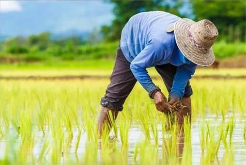 有机水稻是指在种植水稻的过程中完全接受人工种植的水稻 黑龙江方正县盛禧稻花香大米