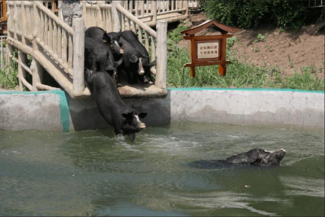 """一只黑猪带来扶贫助农新希望,京东宣布一年包销2亿元""""跑山猪"""""""
