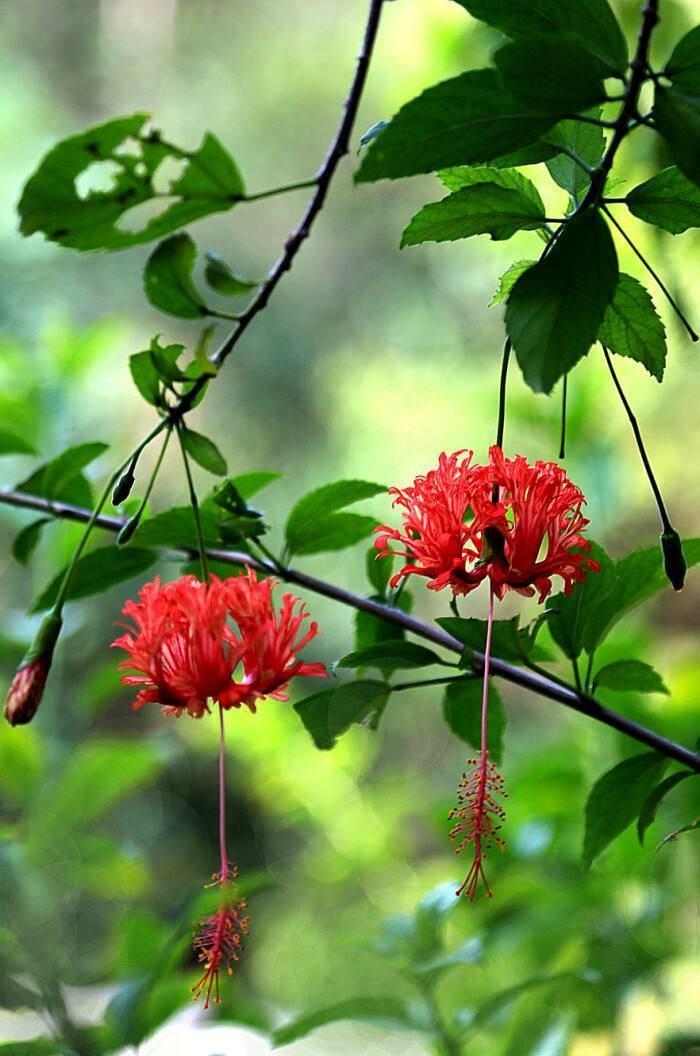 价值高、观赏性强的吊灯一年四季都能开