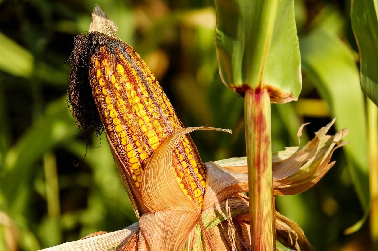 东北农作物大面积倒伏受损25亿?农业生产啥时候能不靠天吃饭?|