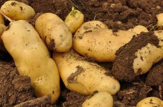 土豆和不能与此物同吃,最少要相隔十五分钟以上,后悔知道太晚!