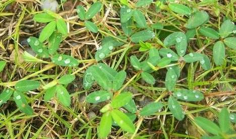 """乡下这种野草可以吸金入药 它被称为""""金"""