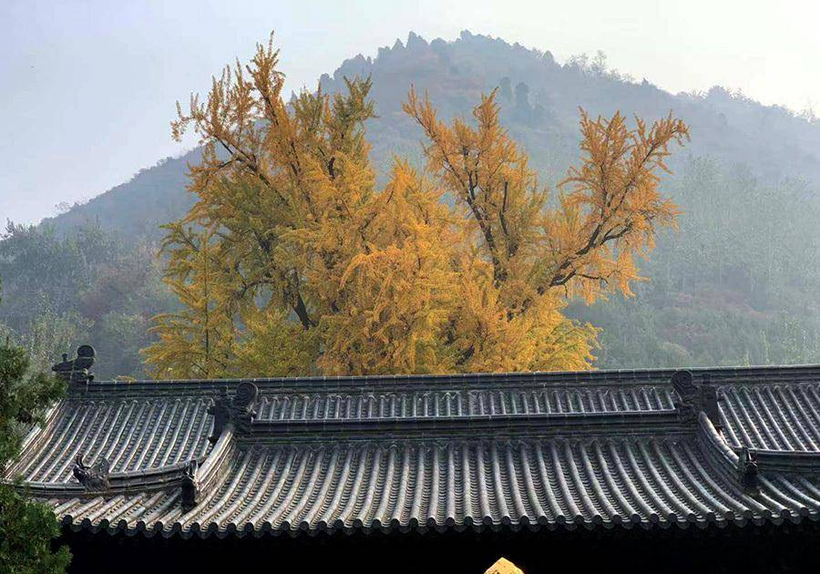 西安千年古刹有棵1400年的银杏树,观赏期火爆不输大雁塔和5A景点