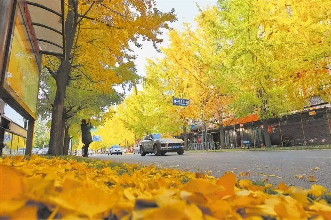 全国银杏观赏地图,挑上一个地方去观赏银杏,也不枉过这个秋天
