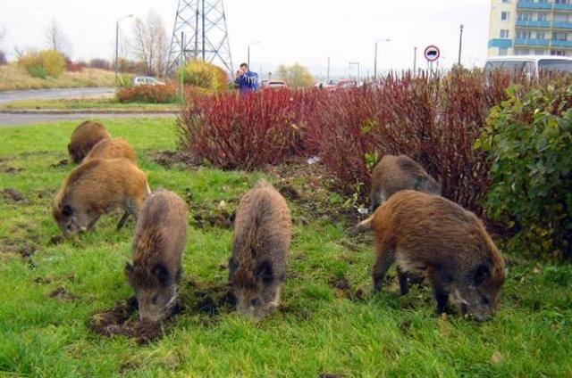 美国野猪泛滥成灾,为何人们不大规模的捕杀用来制作美食?