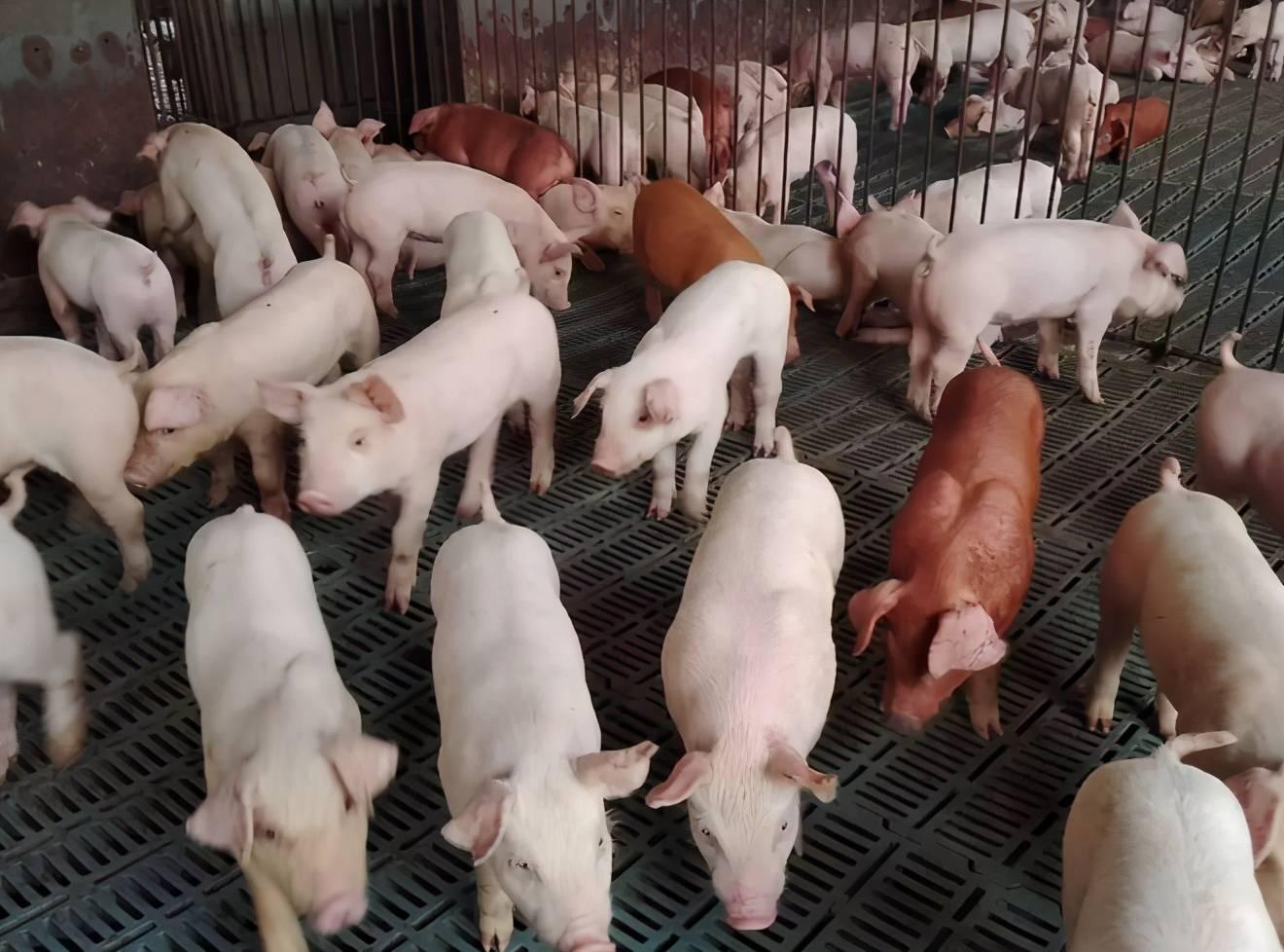 如何治疗原断奶仔猪水泻?断奶仔猪水泻用什么药?