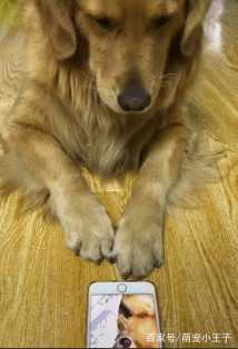 给金毛看它自己打呼噜的视频,没看一会就关了,狗:我不要面子吗