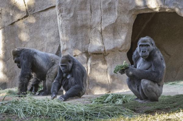 美国野生动物园大猩猩新冠阳性!为世界首例灵长类动物感染