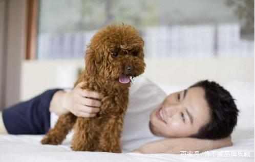 泰迪喜欢赖在床上和你一起睡,原来有这么多的原因啊!