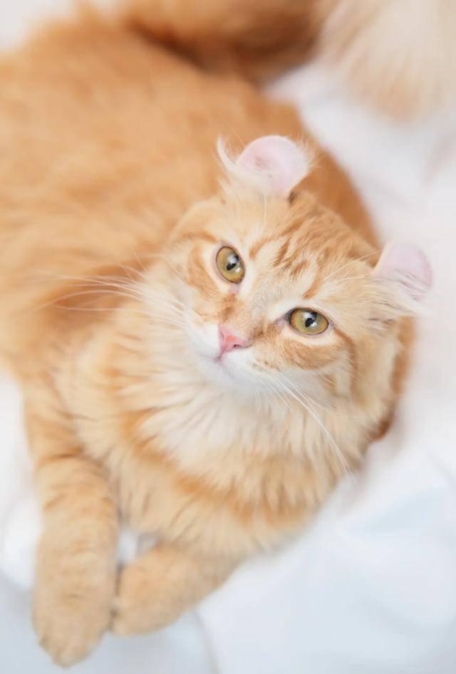 美国卷耳猫产于美国哪里图片