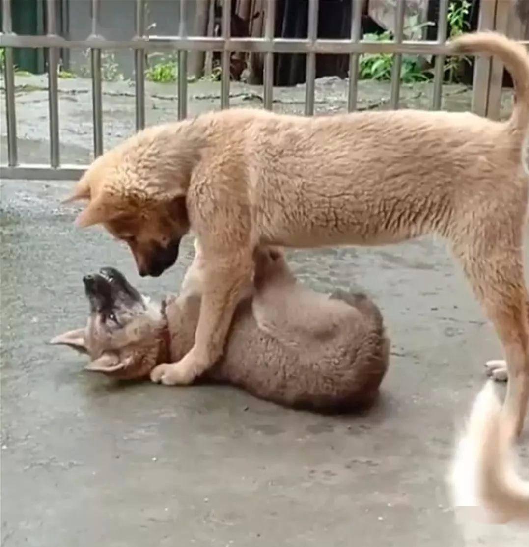 「小狗」被大狗摁在地上教训,小狗:以后再也不敢了,小狗犯二