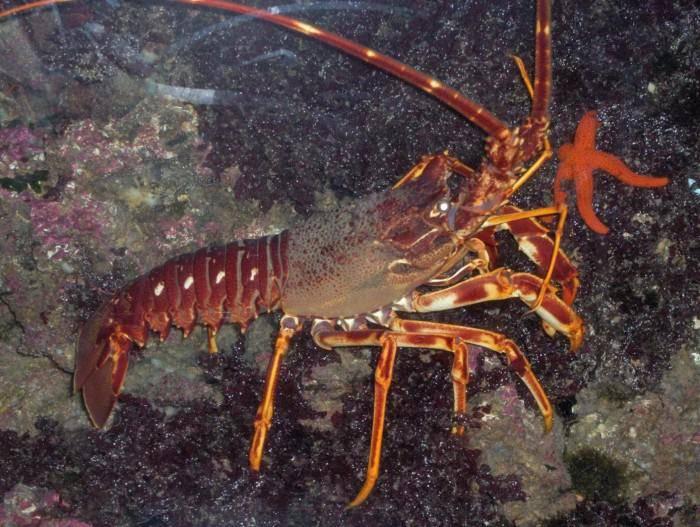 研究发现欧洲棘刺龙虾发出的声音可在2英里外的地方被听到