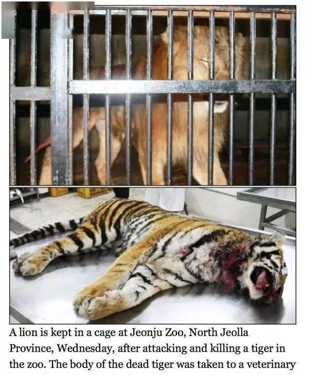三只藏獒和一只成年东北虎关在一个笼子里,会有什么效果?