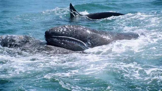 海豚科里最凶猛的动物,轻松拿下30吨的大灰鲸,太厉害了