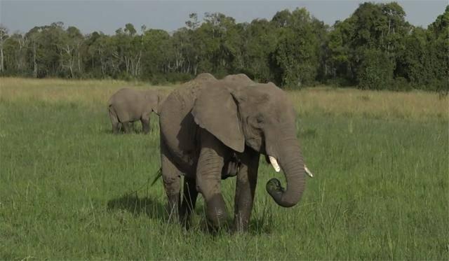 为珍爱鸟巢,勇敢的鸟被大象甩了一鼻子,依然死战不退