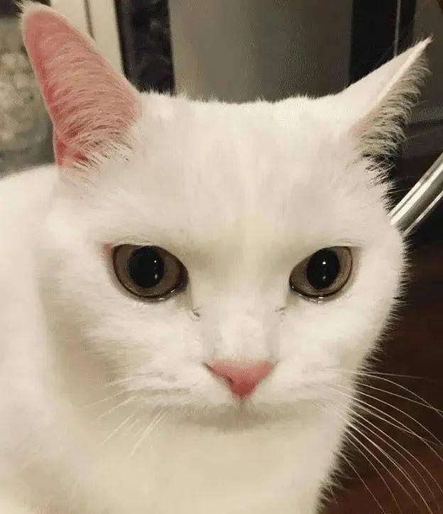 白猫▲,自家白猫天天往隔壁家跑,主人过去一探究竟后笑翻!