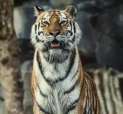 测试:凭感觉选择一只老虎,秒测你的抨击心理有多强?