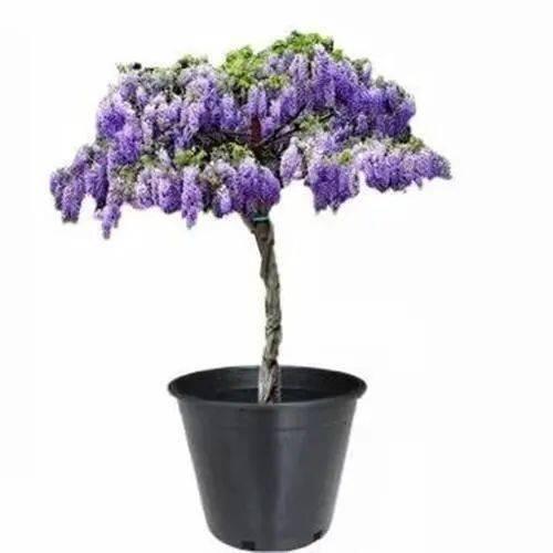紫藤盆景造型图片图片