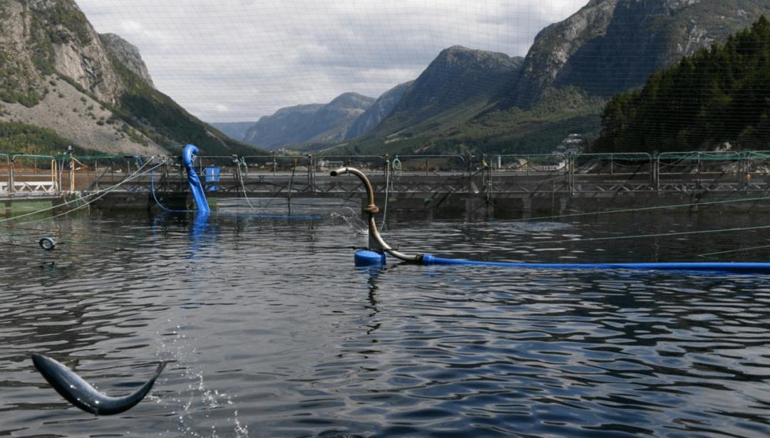 挪威海产局:三文鱼对华出口上周下跌34%