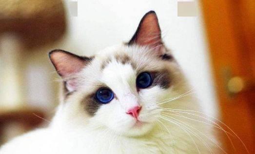 布偶猫饲养注意事项图片