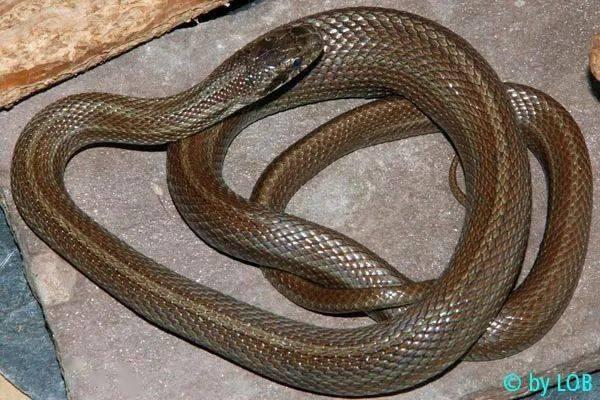 【从零开始养】白条锦蛇基础饲养指南 (图4)