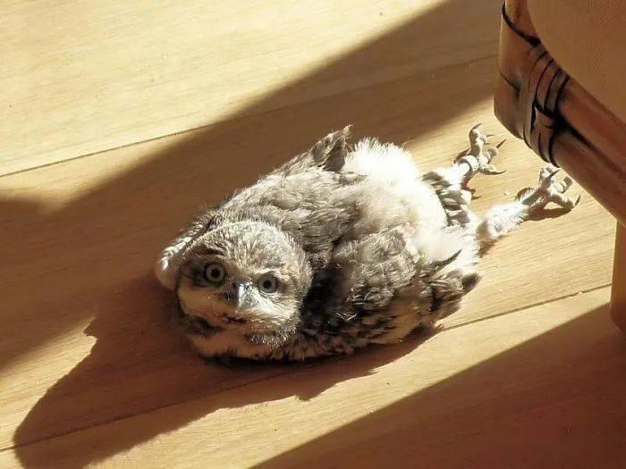 猫头鹰宝宝趴着睡觉,居然是因为脑壳太大?!这也太过可爱了吧!