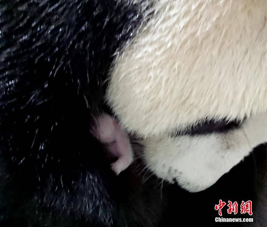 """大陆赠台大熊猫""""圆圆""""顺利产下""""二胎"""""""