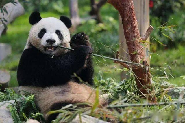 大熊猫伤人之后,为何熊猫会变得很郁闷,其实和性格有很大关系