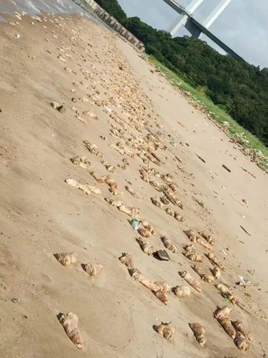 東莞海灘驚現大量豬腳和動物內髒!可能是這樣來的……