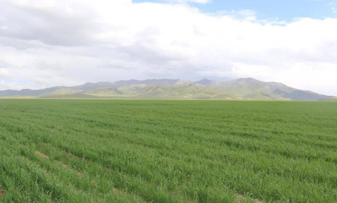 玛多县花石峡镇日谢村饲草种植基地长势良好