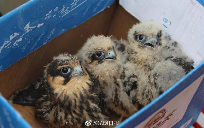 三只燕隼宝宝获救