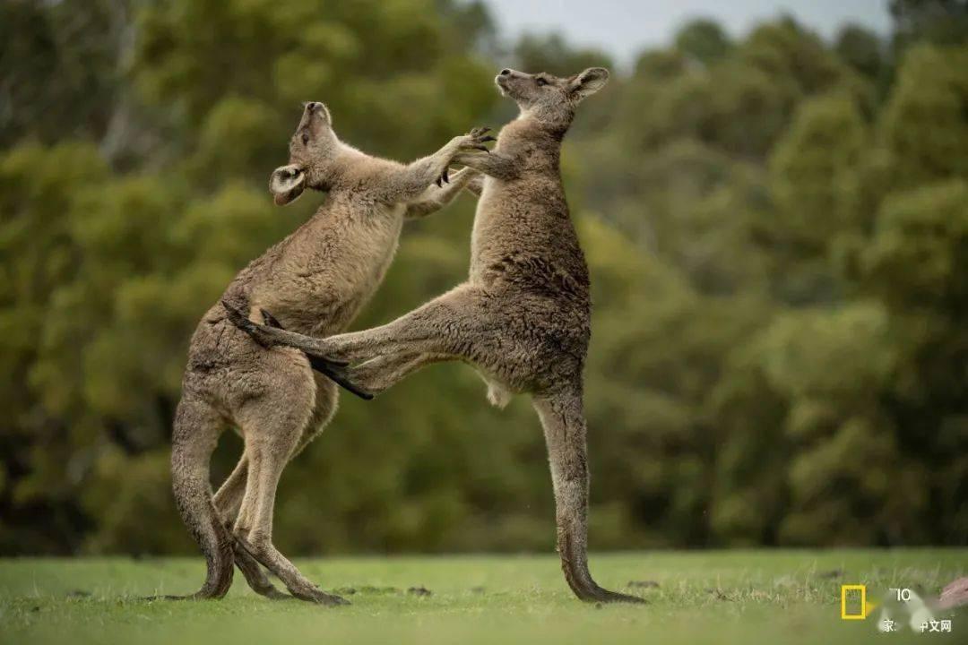 袋鼠正在摧毁澳大利亚?