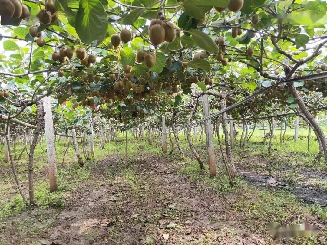 我们县的猕猴桃今年就要上市了! 猕猴桃