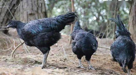 [泉州美食]德化黑鸡汤 德化的美食有哪些