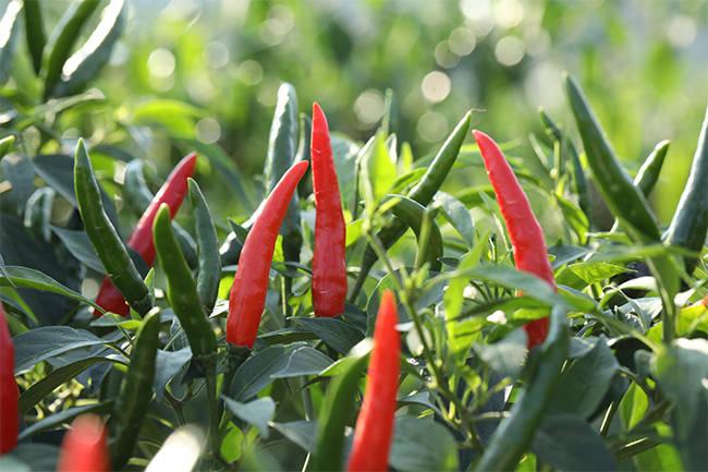 【走向我们的小康生活】火红的辣椒,红火的日子