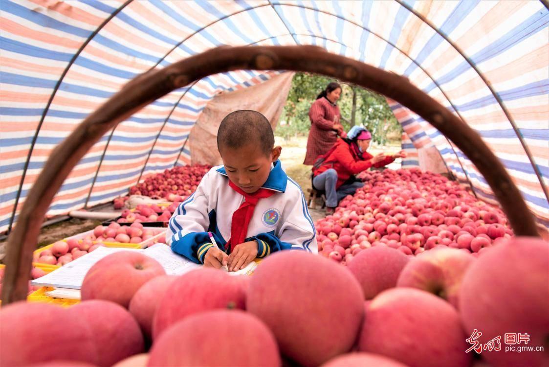 甘肃静宁:小苹果大产业