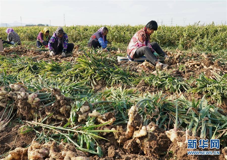 河北抚宁:发展特色农业促农增收