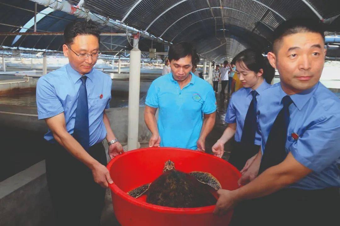 被解救海龟经野化训练后放归大海,这一幕让人惊叹不已